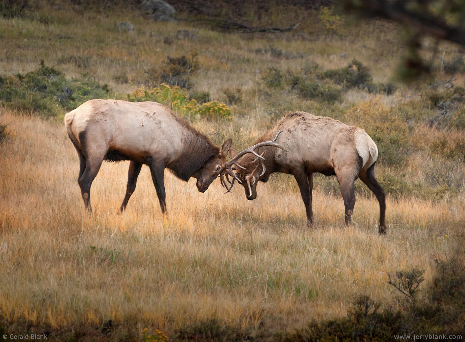 #06428 - A pair of bull elk engage in sparring, in the Moraine Park area of Rocky Mountain National Park, Estes Park, Colorado - wildlife photo by Jerry Blank