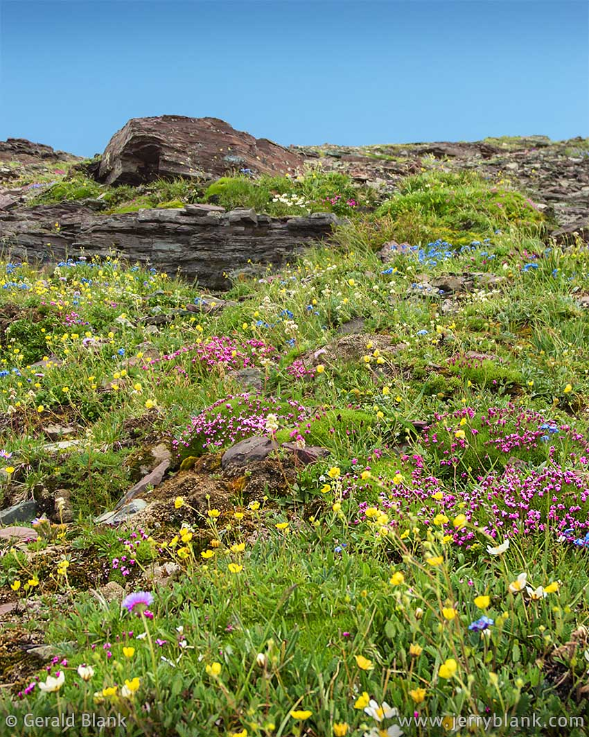 #00028 - High alpine wildflowers flourish on Piegan Mountain's rocky south slope during the brief summer season in Glacier National Park, Montana - photo by Jerry Blank