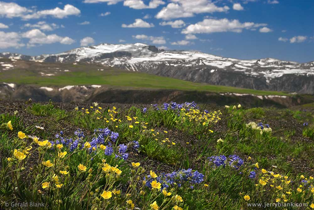 #00504 -Snow cinquefoil and sky pilots blooming in an alpine meadow near Beartooth Pass, Wyoming, looking toward Hellroaring Plateau