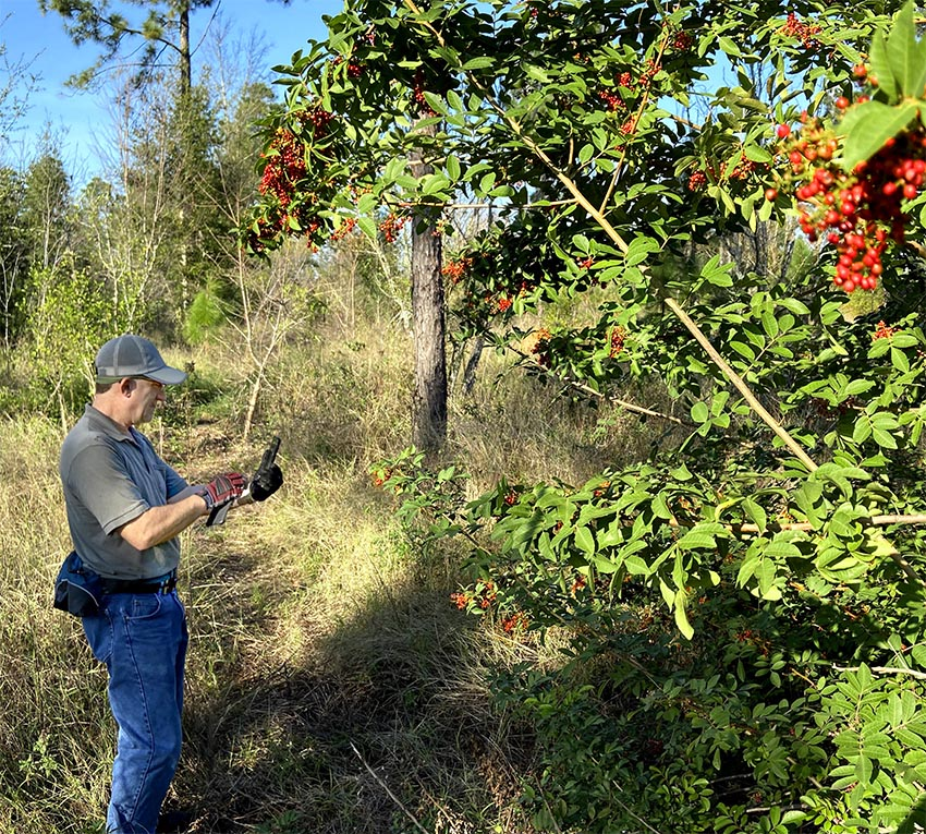 Jerry Blank identifies a wild black cherry tree (Prunus serotina) in the woodlands of Lake County, Florida. Photo courtesy of Mike Blank.