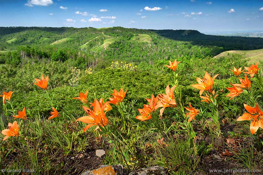 #05185 - Beautiful orange prairie lilies bloom in July, on a sunny patch of the Killdeer Mountains in North Dakota - photo by Jerry Blank