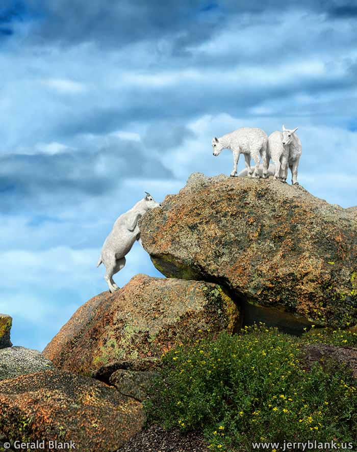 #20421 - A young mountain goat prepares to jump up to join some kids at Mount Evans, Colorado - photo by Jerry Blank