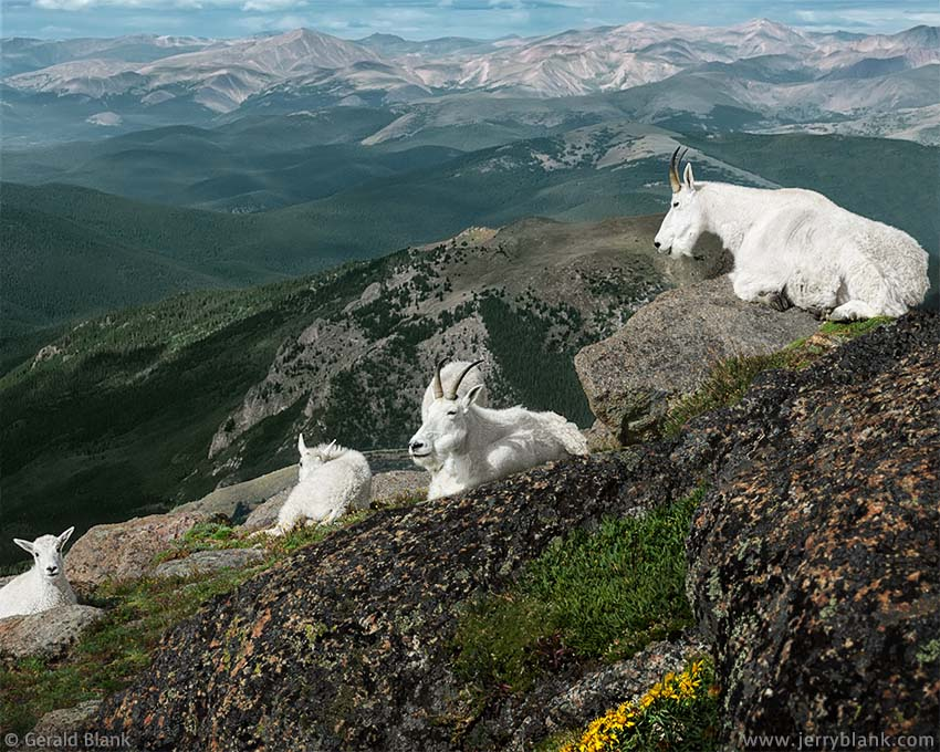 #20510 - Mountain goats with kids on the southern face of Mount Evans, Colorado - photo by Jerry Blank