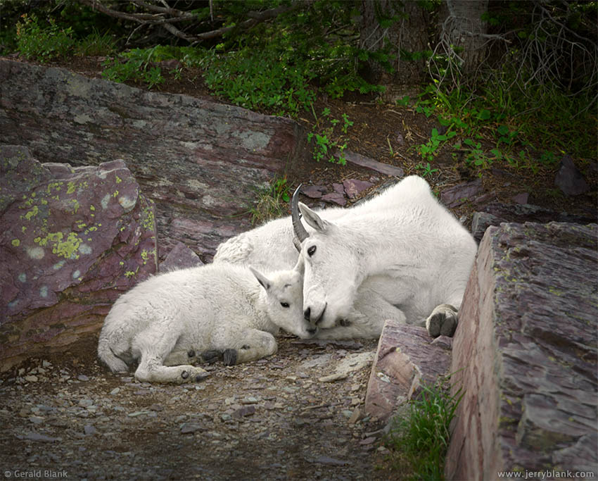 #25570 - A mountain goat kid rests with its mother in the shade on a summer afternoon, in Glacier National Park, Montana - photo by Jerry Blank