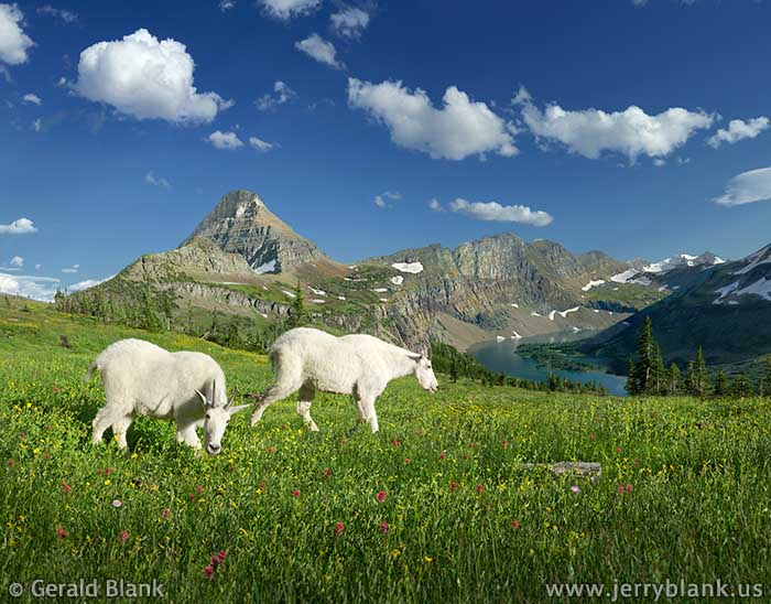 #26111 - Mountain goats grazing in an alpine meadow above Hidden Lake in Glacier National Park, Montana, with Reynolds Mountain and the Dragon's Tail in the background