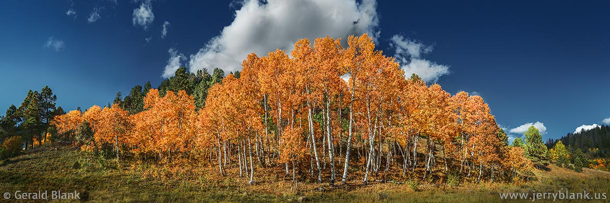 #44852 - A grove of red-orange aspen trees near Dallas Divide, San Miguel County, Colorado - photo by Jerry Blank