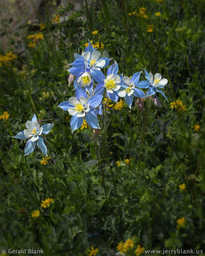 #59932 - Colorado columbines abound in the summer, above Stillwater Reservoir in the Flat Tops National Wilderness Area - photo by Jerry Blank