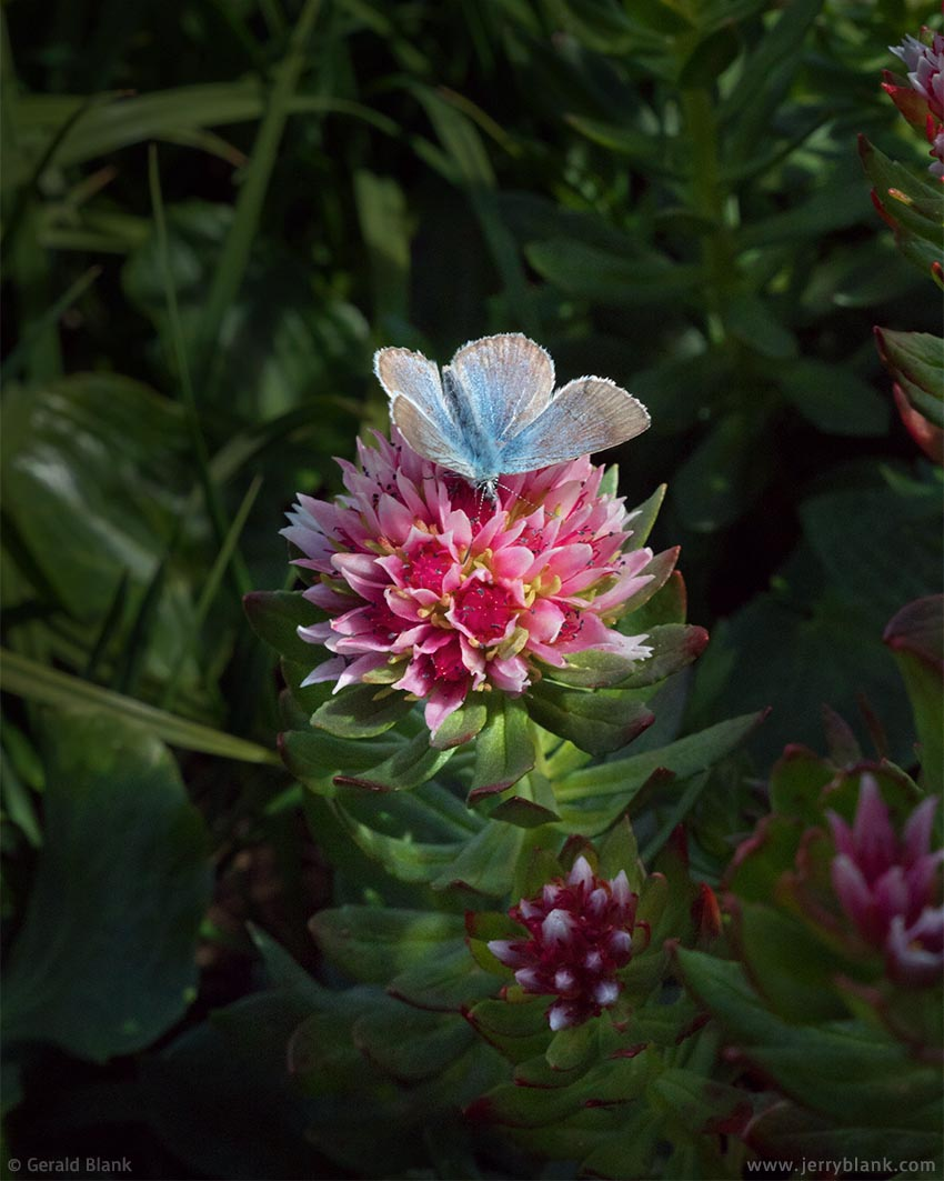 #65541 - Rose crowned sedum attracts a blue butterfly along the Silver Dollar Lake trail - photo by Jerry Blank